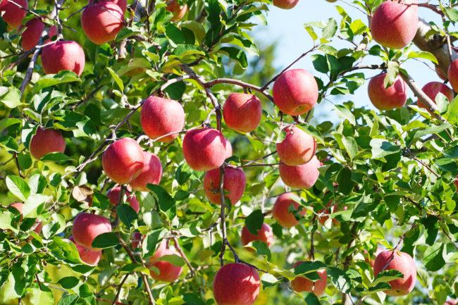 逆境を強さに変える方法をー奇跡のリンゴーから学べ